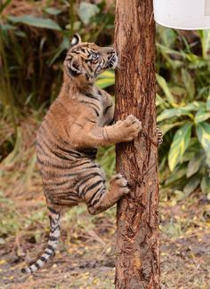 Marvel and Cats - sdzsafaripark:   Climbing Cub by Mike Wilson