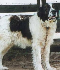 Bukovina Sheepdog - looks like a Newfie with a small head Best Guard Dog Breeds, Best Guard Dogs, Horses And Dogs, Dogs And Puppies, Little Dogs, Big Dogs, Rare Dogs, Schaefer, Animaux