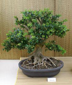 Boxwood bonsai