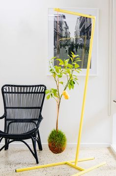 Mister Moss hanging lemon tree and stand.Photo -Brooke Holm, production – Lucy Feagins / The Design Files.