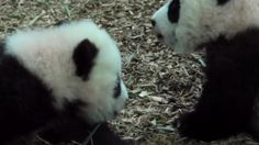 Four-month-old panda twins are on display at the Atlanta Zoo.