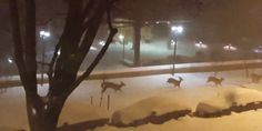 Nature Reclaims D.C.'s Snow-Covered Streets - See how the deer prance! See how they delight in the fall of mankind!