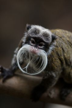 Emperor Tamarin at ZSL London Zoo by Sophie L. Miller