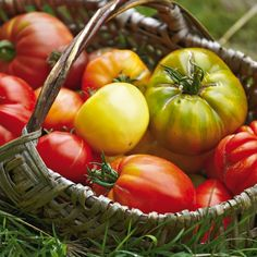 Variété de tomate : Les meilleures variétés de tomates | Détente Jardin