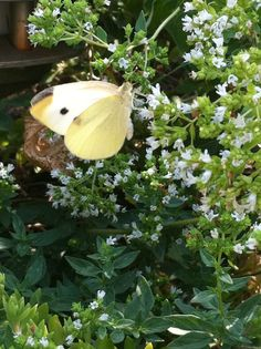 Cabbage butterfly on herbs