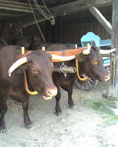 oxen shoes - Google Search