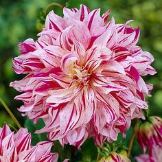 Dinnerplate Dahlia Bristol Stripe from American Meadows, your trusted source for Dahlia Flower Bulbs.  We offer gardeners guaranteed Dahlias and all the information and confidence needed to succeed.