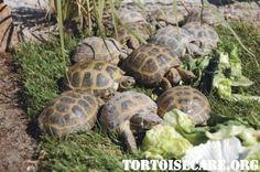 TortoiseCare.org - basic fact sheet for keeping tortoises