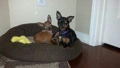 My 2 min pin puppies smiling