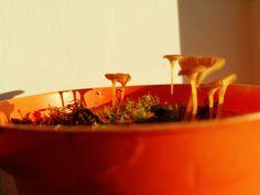 Drosera rotundifolia starting to flower in the evening sun + invasion of orange fungi.