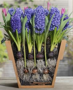 Garten When the bulbs selected for the lasagna method bloom in succession, a mini garden in a pot br Flower Garden, Spring Plants, Planting Bulbs, Spring Garden, Plants, Bulb Flowers, Flowers, Container Gardening, Container Gardening Flowers