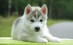 A puppy husky awww huskys are my favourite  type of dog but I do love Staffies though