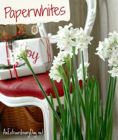 Growing paperwhites for the holidays is something I look forward to every year. Don't miss this terrific planting tutorial.