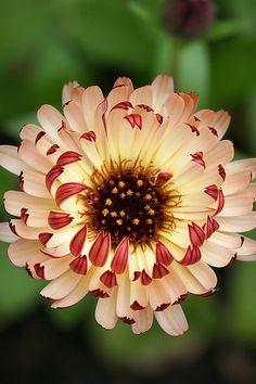 Calendula, 'Bronzed Beauty'. [Photo by Kelly Kilpatrick via Annie's Annuals]