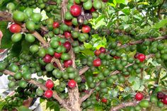 where is coffee grown - Google Search