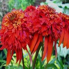 1000 images about garden echinacea on pinterest proven. Black Bedroom Furniture Sets. Home Design Ideas