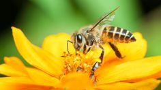 Sem abelhas, não vai faltar só mel. É que elas funcionam como se fossem órgãos sexuais de plantas. Uma parte considerável do Reino Vegetal conta com abelhas para espalhar seu pólen.  Sem abelhas, você castra essas plantas. E elas deixam de existir também, o que é um péssimo negócio, mesmo para quem tem alergia a abelhas: pelo menos dois terços da nossa comida vem direta ou indiretamente de vegertais que precisam de abelhas para se reproduzir.  Ainda não se trata de um apocalipse. [...]