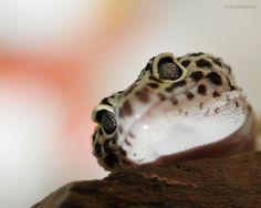 Leopard Gecko Wallpaper Computer - Tera Wallpaper
