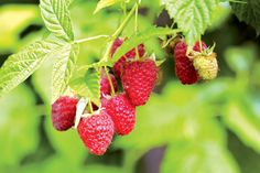 Tulameen Raspberry is a late ripening cultivar that has been widely planted throughout the world. Large vivid red fruit is the plant's main attraction Raspberry Plants, Red Raspberry Leaf, Growing Raspberries, Skin Nutrition, Taraxacum Officinale, Red Fruit, Flower Oil, Oils For Skin, Organic Oil