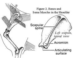 Front and Rear Angulation in the Working Dog Equine Massage Therapy, Horse Therapy, Dog Organization, Animal Movement, Horse Anatomy, Scapula, Working Dogs, Animals And Pets, Terrier