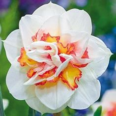 Pink Performance Daffodil - 5 per package Daffodil Bulbs, Bulb Flowers, Daffodils, Flowers In Hair, Tulips, Daffodil Flowers, Top Flowers, Spring Bulbs, Spring Blooms