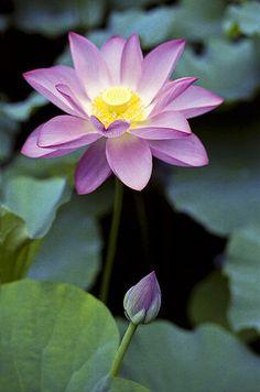 Lotus flower & bud. I'm designating this my favorite flower. I like what it symbolizes. :-)