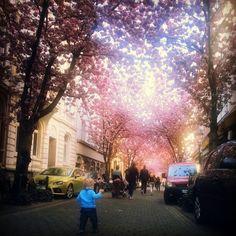 Kirschblütenzeit in Bonn.  Cherry Blossom Germany