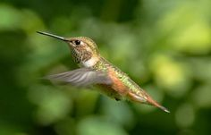 Learn all you wanted to know about rufous hummingbirds with facts, pictures, videos, and news from National Geographic.