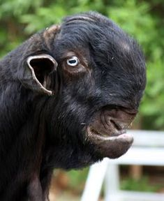 Weird-Ugly -Shami-Damascus-Goat-Monster-Animals animals World's 'Ugliest' Goats Look Super Cute Until They Grow Up Ugly Animals, List Of Animals, Unusual Animals, Rare Animals, Animals Beautiful, Animal List, Kids Animals, Damascus Goat, Animals Crossing