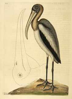 Birds from The Natural History of Carolina, Florida, and the Bahama Islands (1754) | The Public Domain Review