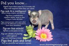 Love a pig! Baby Animals, Funny Animals, Cute Animals, Teacup Piglets, Miniature Pigs, Small Pigs, Mini Pigs, Cute Piggies, Pet Pigs