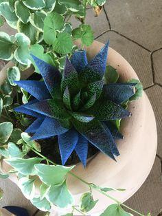 Cool blue succulent