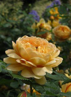 Golden Celebration rose