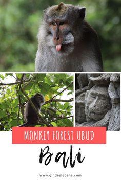 Tipps und Infos für einen Besuch im Affenwald. Der Sacred Monkey Forest ist eine der beliebtesten Sehenswürdigkeiten in Ubud auf Bali. Erlebnisse, Sehenswertes, Eintritt und Öffnungszeiten sowie Tipps für einen Besuch im Monkey Forest in Ubud auf Bali. Dieser und weitere Reisetipps zu Bali und Highlights in Indonesien auf www.gindeslebens.com #Bali #Ubud #MonkeyForest #MonkeyForestUbud #UbudBali #SacredMonkeyForest Jimbaran Bali, Tromso, Ubud, Monkey Forest, Travel Couple, Places To Go, Highlights, Pictures, Animals