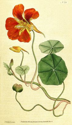 Nasturtium (Tropaeolum majus), botanical illustration by James Sowerby for The Botanical Magazine 1790 Vintage Botanical Prints, Botanical Drawings, Antique Prints, Botanical Illustration, Illustration Art, Illustrations, Deco Floral, Arte Floral, Botanical Flowers