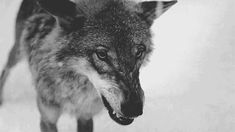 Find GIFs with the latest and newest hashtags! Search, discover and share your favorite Wolf GIFs. The best GIFs are on GIPHY. Wolf Spirit, Spirit Animal, Gifs, Black Animals, Cute Animals, Beautiful Creatures, Animals Beautiful, Majestic Animals, Dark Gif