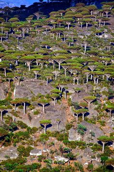 A remnant forest of endemic dragon's blood trees on the island of Socotra, Yemen ~ UNESCO World Heritage Site. Photo: Trevor Cole via Socotra, Mother Earth, Mother Nature, Dragon Blood Tree, Dragon Tree, Weird Trees, Unique Trees, Tree Forest, Forest Art