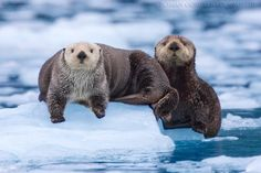 Sea Otters - Pixdaus. Did someone say my name?