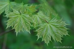 Acer platanoides Wild Nature, Homestead Survival, Natural Cures, Plant Leaves, Flora, Acer, Herbs, Plants, Simple
