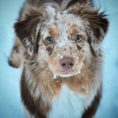 And the combinations are absolutely stunning. | 19 Reasons Australian Shepherds Are The Best-Looking Dogs In The World #AustralianShepherd