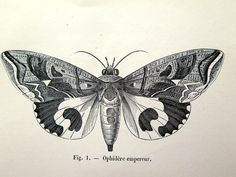 imprimer papillons papillons antique de 1860 par LyraNebulaPrints