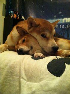 Yoshi and Emi - My 2 Shiba Inu's (Amanda)