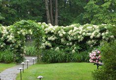 De klimhortensia (Hydrangea anomala petiolaris) kan in de schaduw. Dat is handig voor een schutting op het noorden. De plant klimt zelf omhoog langs muren en schuttingen met haar hechtwortels waarmee de takken zich vastzuigen aan hun ondergrond.