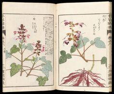 Botanical woodblock prints taken from 'Honzô zufu'...