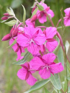 Fireweed - bigger blooms than I thought I'd like but it looks good upside down and right side up (unlike the tree or the leafy fireweed examples)