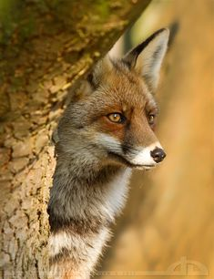 recently it has dawned on me just how beautiful foxes are