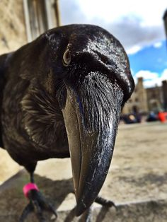 Ravenmaster @ravenmaster1 on Twitter: I'm watching you! #corvidae
