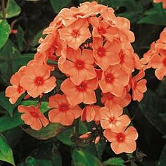 """Phlox """"Orange Perfection"""" perennial; full sun to partial shade and drought tolerant; Space plants 10-16 inches apart in the middle or back of the flower bed, allowing for plenty of air circulation; blooms summer to fall;  Mature height 24-36"""";  Mature spread 24-36"""""""