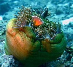 Coral, Timor-Leste