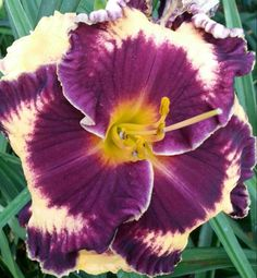 This Daylily seedling is a second year seedling absolutely beautiful perfect bloom pattern round and ruffled .A big pretty purple eye with a soft cream colored background.